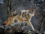 В Поморье охотникам за добычу волков выплачивают вознаграждение за сезон охоты 2020/21