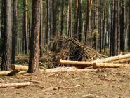 80 процентов муниципальной лесосеки используется не по назначению