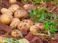 Россельхознадзор опроверг информацию о запрете сажать картошку на даче