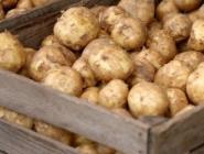 В Архангельской области собрали богатый урожай картофеля