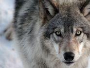 В Поморье активизирована работа по регулированию численности волков