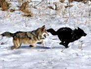 «Нашествие волков нужно пережить, как пандемию»
