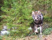 Волки идут к жилью человека от бескормицы